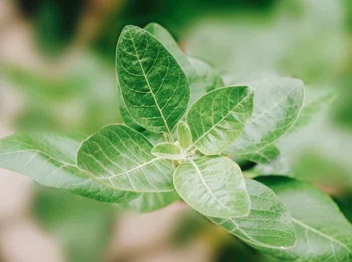 Die-Gruende-warum-du-ashwagandha-als-Heilpflanze-testen-solltest